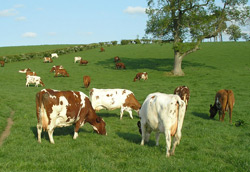 The Marleycote Cows